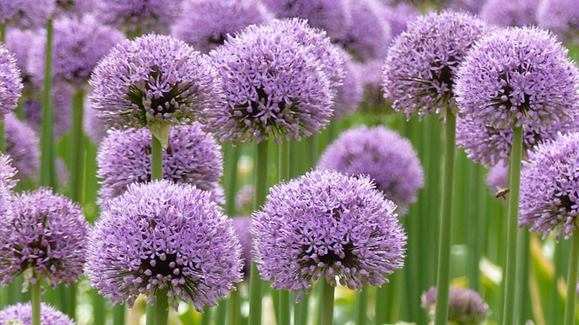 allium zierlauch zwiebeln in gro packungen kaufen green garden flower bulbs. Black Bedroom Furniture Sets. Home Design Ideas