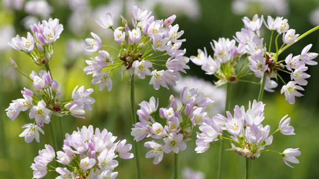 Allium (Ajo decorativo)
