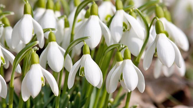 galanthus schneegl ckchen zwiebeln in g nstigen gro packungen kaufen green garden flower bulbs. Black Bedroom Furniture Sets. Home Design Ideas