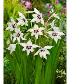 Acidanthera gladiolus callianthus