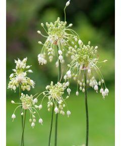 Carinatum pulchellum album