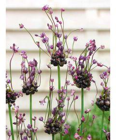 Art scorodoprasum