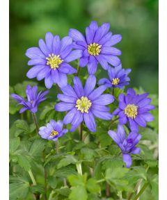 Blue shades blanda