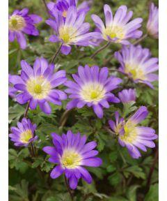 Violet star blanda