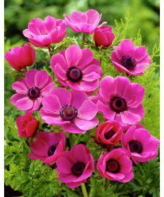 Sylphide de caen - pink