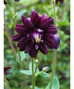 Aquilegia vul. black barlow