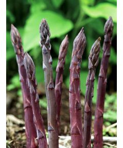 Asparagus pacific purple officinalis