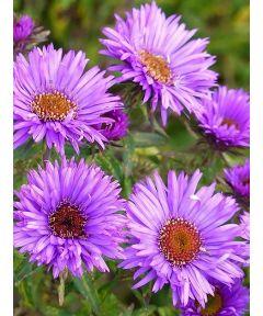 Aster novi-angliae purple dome