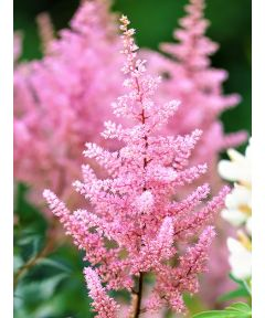 Astilbe europa japonica