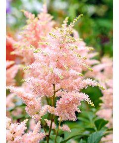 Astilbe peach blossom