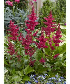 Astilbe red sentinel japonica