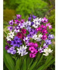 Babiana stricta mixed