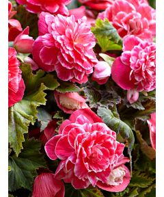 Double camellia