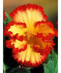 Crispa marg. yellow/red