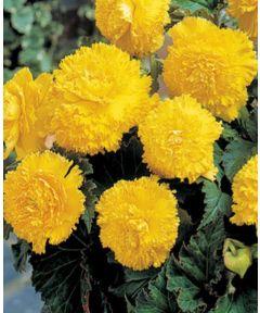 Fimbriata yellow