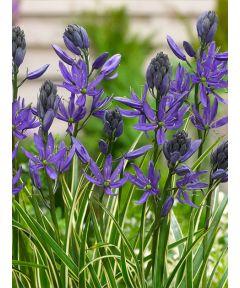 Camassia  blue melody quamash