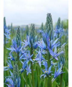 Camassia blue candle leichtlinii