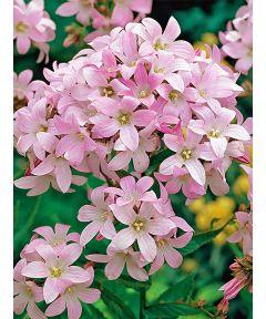 Campanula loddon anna lactiflora