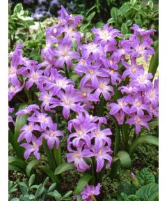 Chionodoxa violet beauty