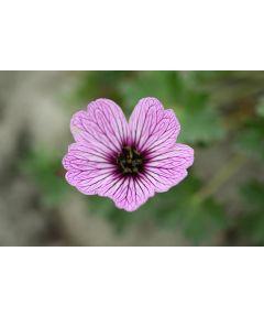Geranium ballerina cinereum