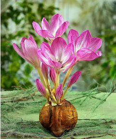 Colchicum giganteum