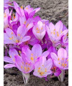 Colchicum cilicicum purpureum