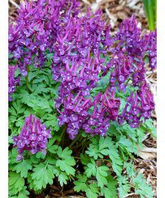 Corydalis purple bird solida