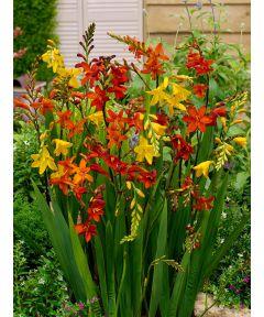 Crocosmia large flowering mixed