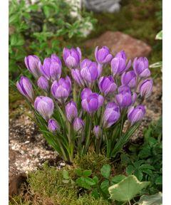 Barr's purple tommasianus