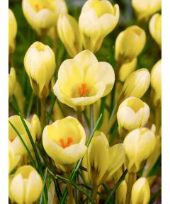 Cream beauty chrysanthus