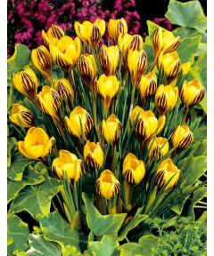 Gipsy girl chrysanthus