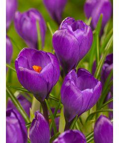 Flower record grossblumig