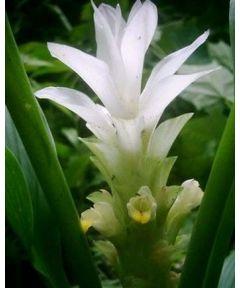 Curcuma white wonder