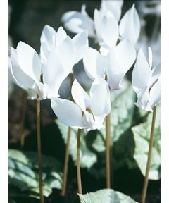 Cyclamen hederifolium album (dutch grown)