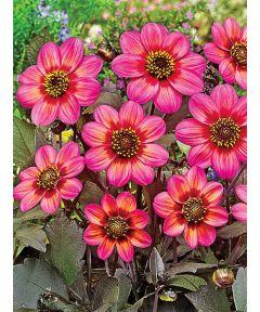 Dahlegria tricolore