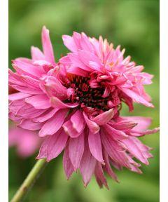 Echinacea purpurea double decker