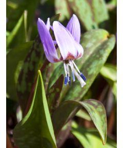 Erythronium d.c. lilac wonder