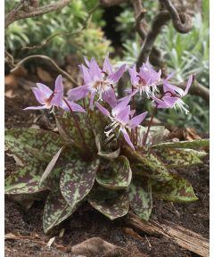 Erythronium d.c. purple king