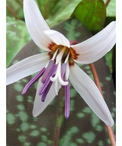 Erythronium d.c. snowflake