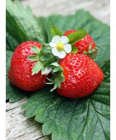 Fragaria korona  strawberry