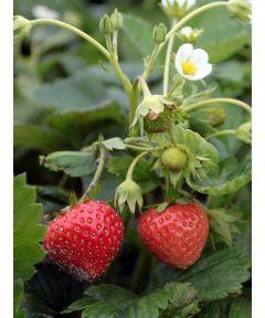 Fragaria mara des bois strawberry