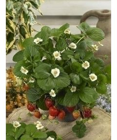 Fragaria ostara strawberry