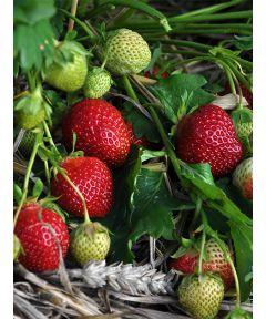 Fragaria polka strawberry