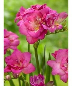 Freesia double pink