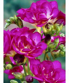 Freesia double purple