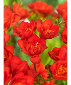 Freesia double red