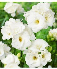 Freesia double white