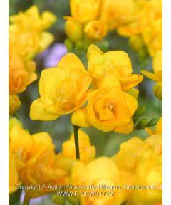 Freesia double jaune