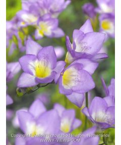 Freesia blue single