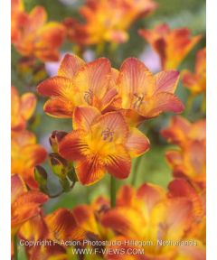Freesia red single